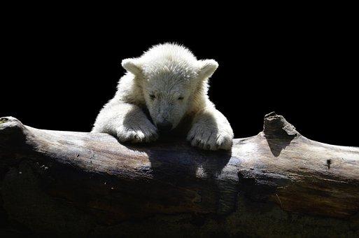 Polar Bear, Polar Bear Child, Cold, Polar, White