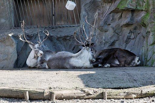 Reindeer, Lying, Enclosure, Animal, Zoo