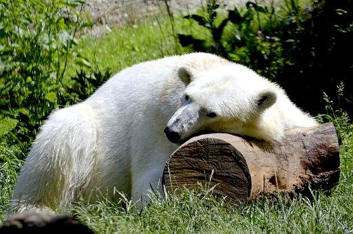 Polar Bear, Sleep, Animal, White, Bear, Rest, Predator