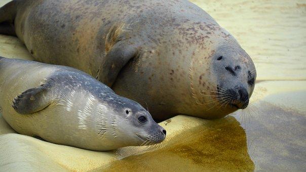 Robbe, Howler, Seal, Seal Station, Mammal