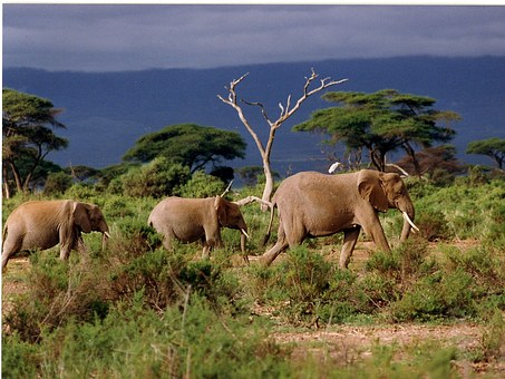 Animal, Wild Animals, Mammals, Elephant, Savannah