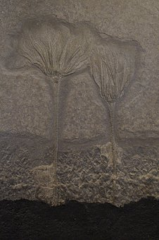 Fossil, Fossils, Sea Lilies, Petrified, Anthozoa
