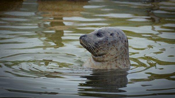 Robbe, Seal, Seal Station, Mammal