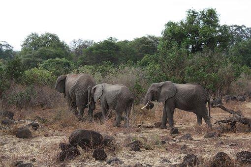 Elephant Family, Slonie, Elephant, Tanzania, Safari