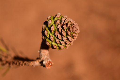Pine Cones, Young, Small, Bud, Mediterranean, Pine