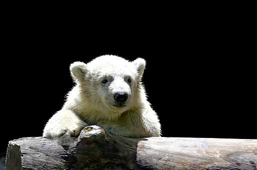 Polar Bear Child, Young Polar Bear, Smile, White, Fur