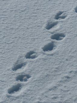 Spitsbergen, Polar Bears, Traces, Snow, Paw Prints