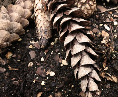 Pine Cones, Cones, Conifers, Scales, Strobilus, Seeds