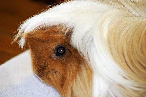 Guinea Pig, Sea pig House, Sweet, Cute, Animal