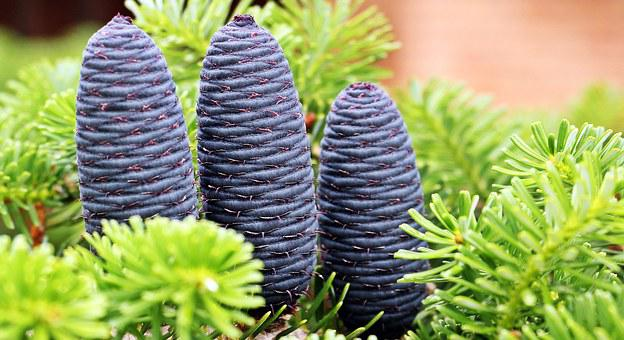Fir, Pine Cones, Tap Blue, Tap, Needles, Nature, Green