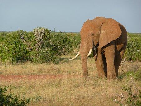 Elephant, African, Kenya, Tsavo, Mammal, Nature, Trunk
