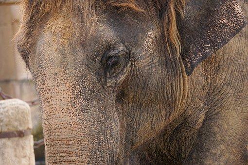 Elephant, Structure, Tusks, Ivory, Wrinkled, Skin