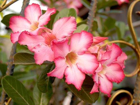 Azalea, Outdoor, Wallpaper, Blooming, Rhododendron