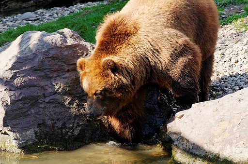 Bear, Brown, Kamchatka Bear, Water, Rock, Enclosure