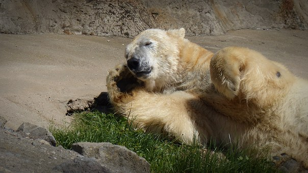 Polar Bear, Sleep, Sun, Bear, Predator, White Bear