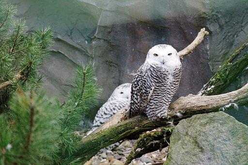 Owl, Snowy Owl, Road, Bird, White, Enclosure, Animal