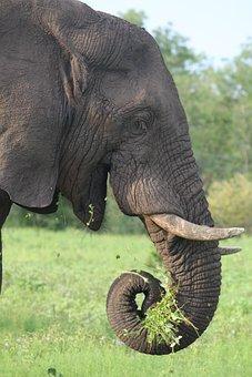 Elephant, Africa, Wildlife, Safari, Nature, Wild