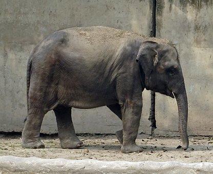 Elephant, Asian, Indian, Mammal, Animal, Wildlife