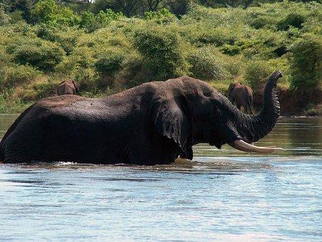 Elephant, Zambia, Zambezi, Africa, Wildlife, Wild