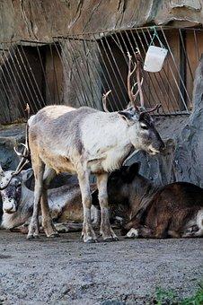Reindeer, Standing, Enclosure, Animal, Zoo
