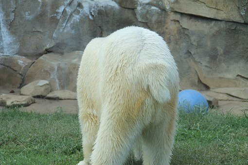 Bear, Back End, Zoo, Tail, Polar Bear, White, Fluffy