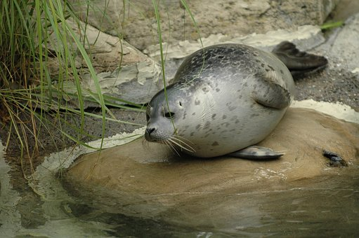 Seal, Zoo, Zurich, Robbe, Water, Nature, Mammal