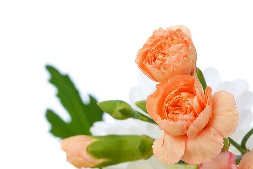 Beautiful, Bloom, Blossom, Bud, Carnation, Decoration