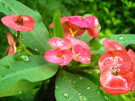 Flowers, Ephorbia, Red, Leaf, Green, Plants, Plant