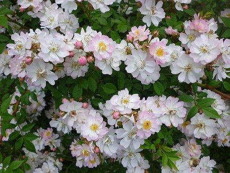 Rose, Runner Rose, White, Rose Buds, Nature
