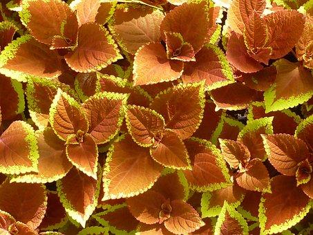 Nature, Leaves, Color, Coleus