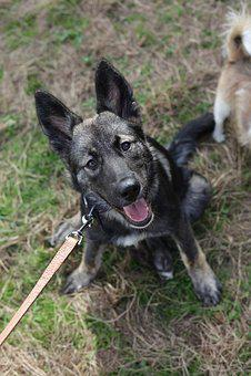 Dog, Collie, Husky, Labrador, Crossbreed, Domestic