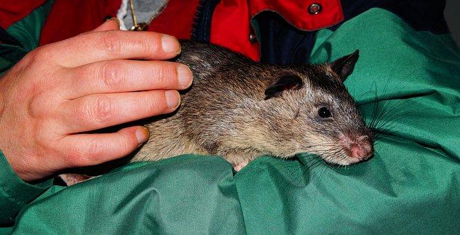 Rat, Gambian Rat, Giant Hamster Rat, Africa