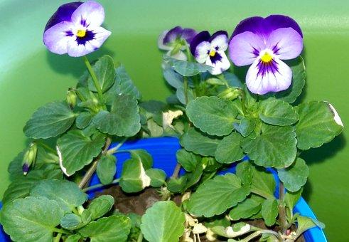Dragon Lillies, Nature, Flower, Botany