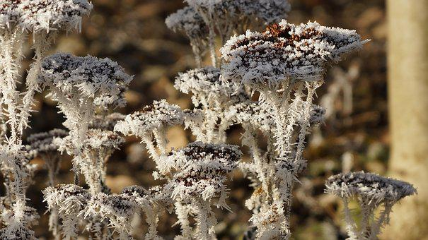 Perennial, Flower, Withered, Dried, Wilted, White