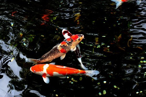 Water, Fish, Japan, Carp, Animal, Freshwater, Goldfish