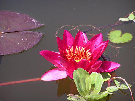 Red Water Lily, Red Waterlily, Lotus, Flower, Pond