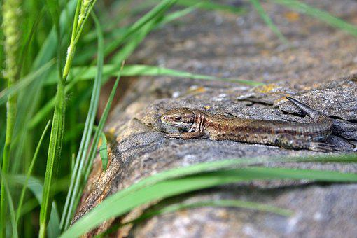 Lizard, Sand Lizard, Female, Animal, Reptile, Nature