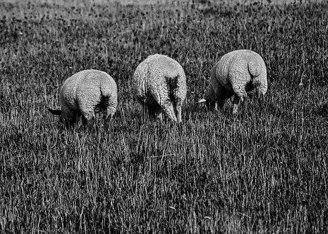 Sheep, Backside, Black, White, Back View, Posing, Rear