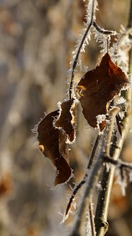 Beech, Leaf, Withered, Tree, White, Winter, Ice, Snow