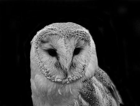 Barn, Owl, Bird, Wildlife, Animal, Nature, White, Black