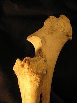 Bone, Radius, Ulna, Skeleton, Anatomy, Bovine, Leg