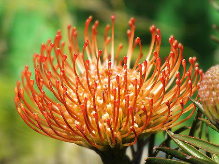 Table Mountain, Cape Town, Flower