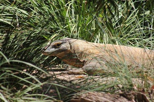 Reptile, Comodo Dragon, Lizard, Wildlife, Dangerous