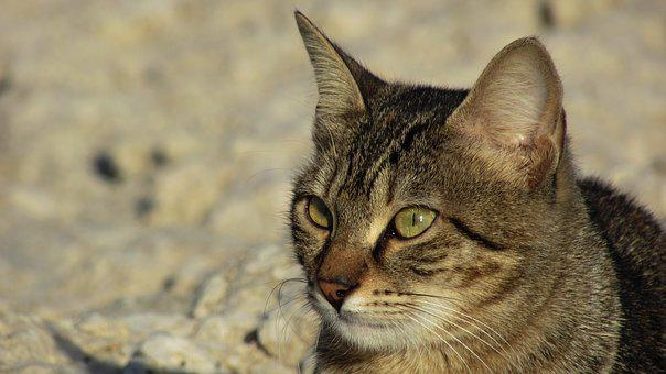 Cat, Stray, Animal, Cute, Outdoor, Eyes, Face, Kitten