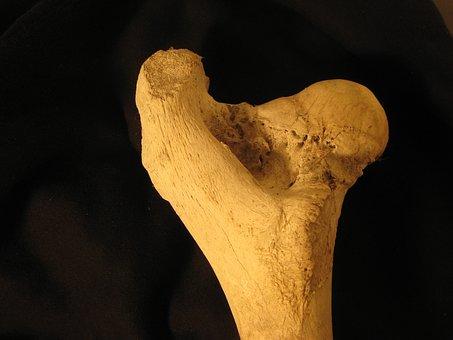 Bone, Femur, Anatomy, Skeleton, Bovine, Leg, Biology