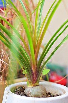 Plant, Flowerpot, Green, Elephant Foot, Beaucarnea