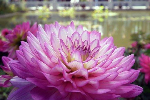 Flowers, Chrysanthemum, Macro, Floriade, Close Up