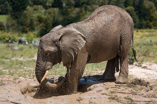 Elephant, Africa, Mud Bath, Mud Pack, Frolic, Playing