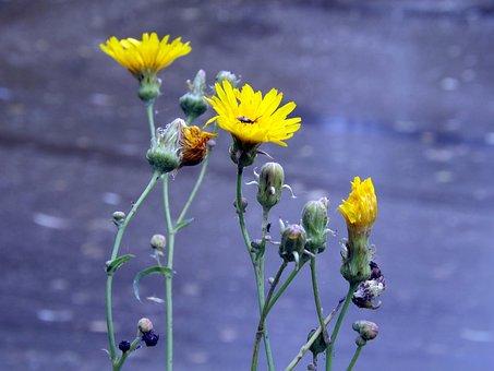 Flowers, Yellow, Dandelion, Plants, Park, Garden