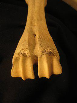 Bone, Skeleton, Anatomy, Bovine, Leg, Metacarpal